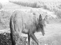 lobo en la naturaleza