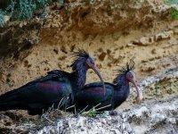观鸟ibis chauve
