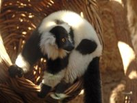 watch how the lemurs play