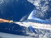 Suelta white marlin