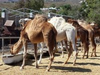 Camels at the watering hole