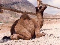 Camel parties