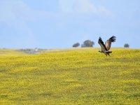 Cigüeña volando bajo a nuestro paso