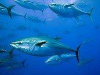 Aguas del atún gigante