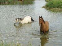 Caballos en el río
