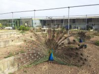Peacock in the farm of Albacete