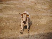 Heifer running through the square