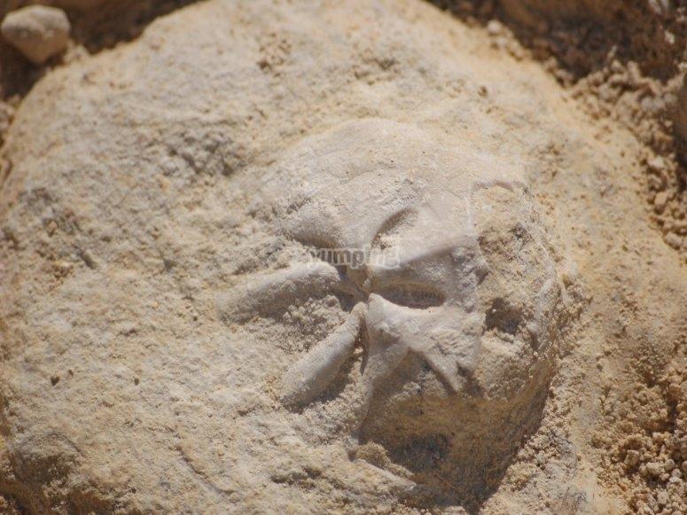 Erizo fósil
