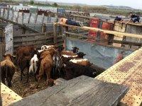 Vacas de la ganaderia en Zaragoza