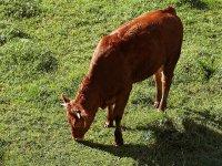 Vaquilla pastando en el campo