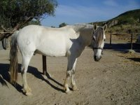 caballo blanco en el interior de un centro ecuestre
