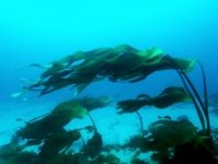 弗洛拉连续移动的海上潜水