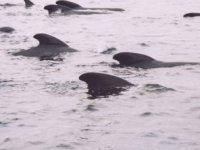 Orcas将在你身边游泳