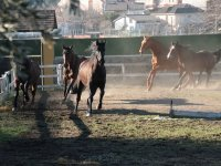 Horses training in the ring