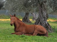 Horse laid under a tree