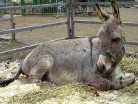 el burro descansando
