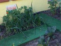 cebollas plantadas