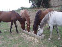 Cavalli che mangiano