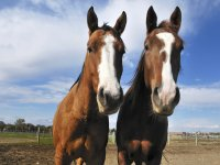 Horses abroad