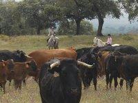 Visitando la ganaderia a caballo
