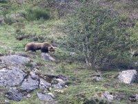 En busca del oso pardo