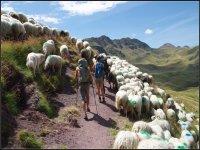 Caminando entre cabras