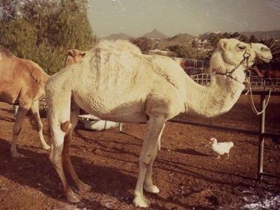 Tenerife Camel Park