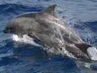 试点鲸小腿母亲和小腿宽吻海豚跳跃的