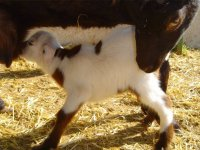 Breastfeeding the calf