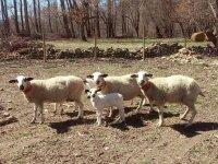 Familia de ovejas en las instalaciones