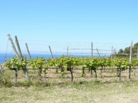 the vineyards next to the sea