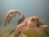 Swimming between turtles