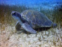 Tinerfena turtle