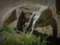 Komodo bifida tongue