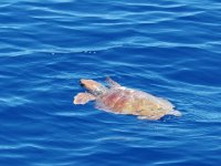 Vista de tortugas marinas desde el barco