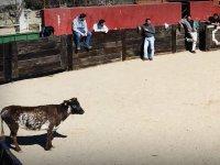 La vaquilla acechando