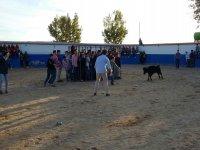 Teasing the heifer in Madrid
