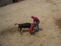 Bullfighting heifer