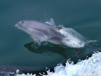 Delfin saliendo del agua