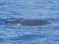 Grandes cetaceos en el cantabrico