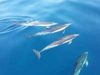 Grupo de delfines Golfo de Vizcaya