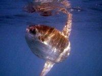 Divisando un pez Luna en buceo