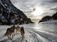 los perros por la nieve