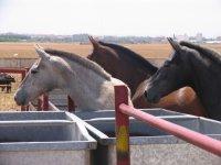 los caballos en la finca
