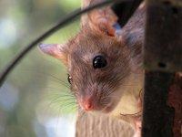 Raton asomado