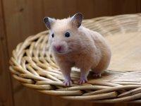Raton en el cesto