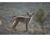 自然公园内的狐狸
