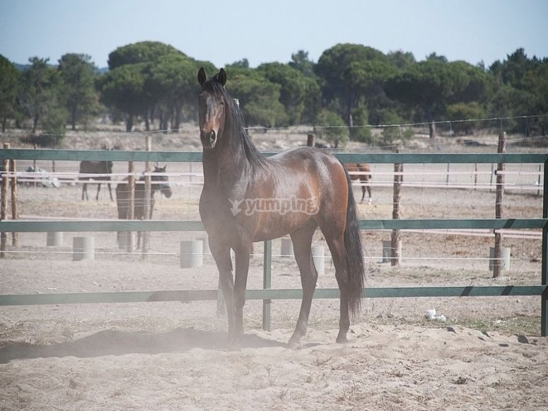 El noble caballo