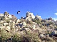 Vulture in La Pedriza