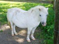 Pony bianco